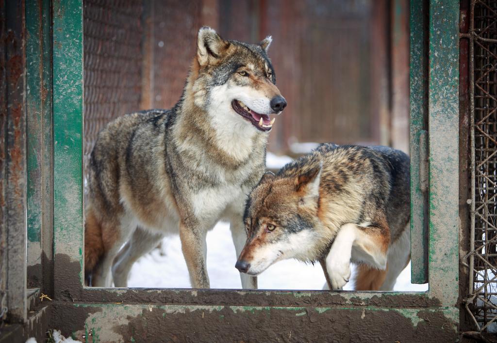 Aký je vlk v zajatí? Dôveruje po rokoch v klietke človeku viac ako v divočine? Foto N - Tomáš Benedikovič