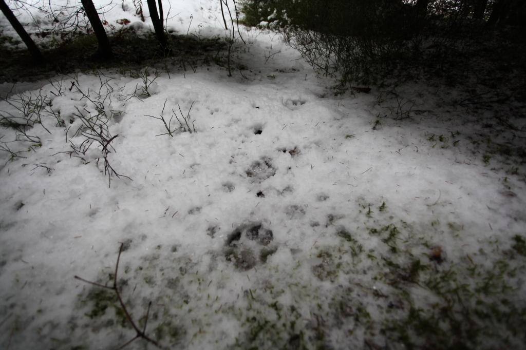 Stopy vlka. Foto N - Martina Pažitková