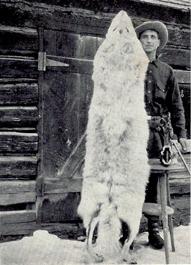 Montana_wolf_100_lbs_1928_Young_&_Goldman_USFWS