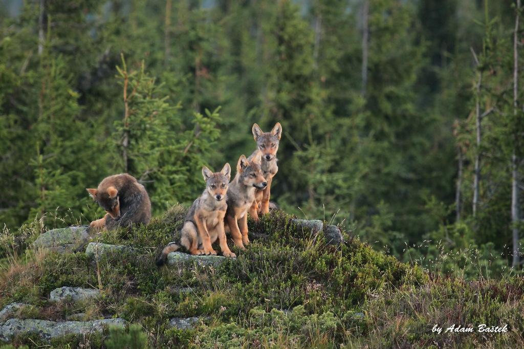 Vĺčatá vo Vlčích horách. Foto - Adam Baštek/Arolla Film