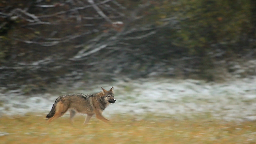 vlk Jozef Fiala_Arolla Film (2)