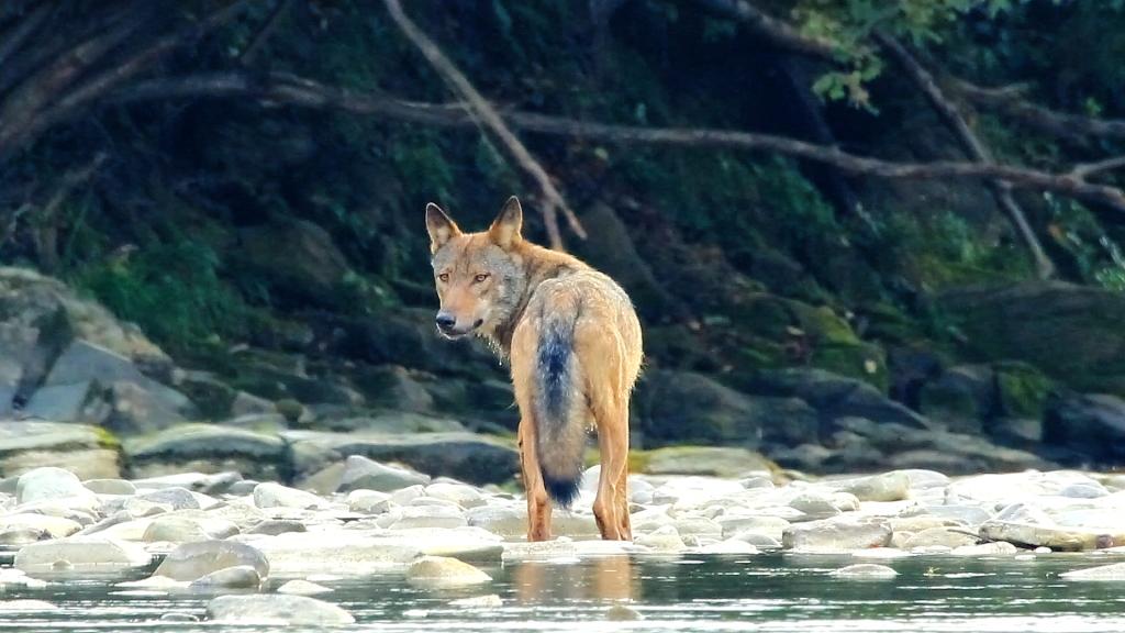 Vlk z filmu Vlčie hory. Foto - Jozef Fiala/Arolla Film