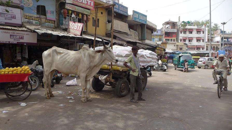 Posvätné kravy sú súčasťou indickej spoločnosti atak ich nájdete aj vcentre hlavného mesta. FOTO - AUTORKA