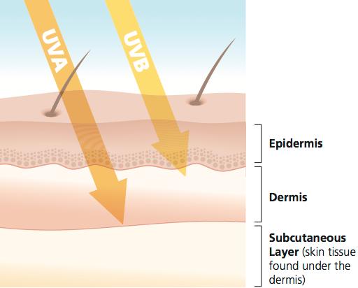 Rozdiel medzi UVA a UVB žiarením je okrem jeho vlnovej dĺžky (a energie) aj hĺbka prenikania do pokožky. FOTO - skincancer.org