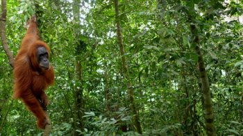 Kvôli klčovaniu a vypaľovaniu pralesov na Sumatre a Kalimentane hrozí vyhynutie orangutanom. (Magdaléna Vaculčiaková)