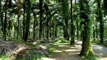 Keby človek nevedel, čo je v pozadí, palmové plantáže pôsobia ako oázy pokoja. (Magdaléna Vaculčiaková)