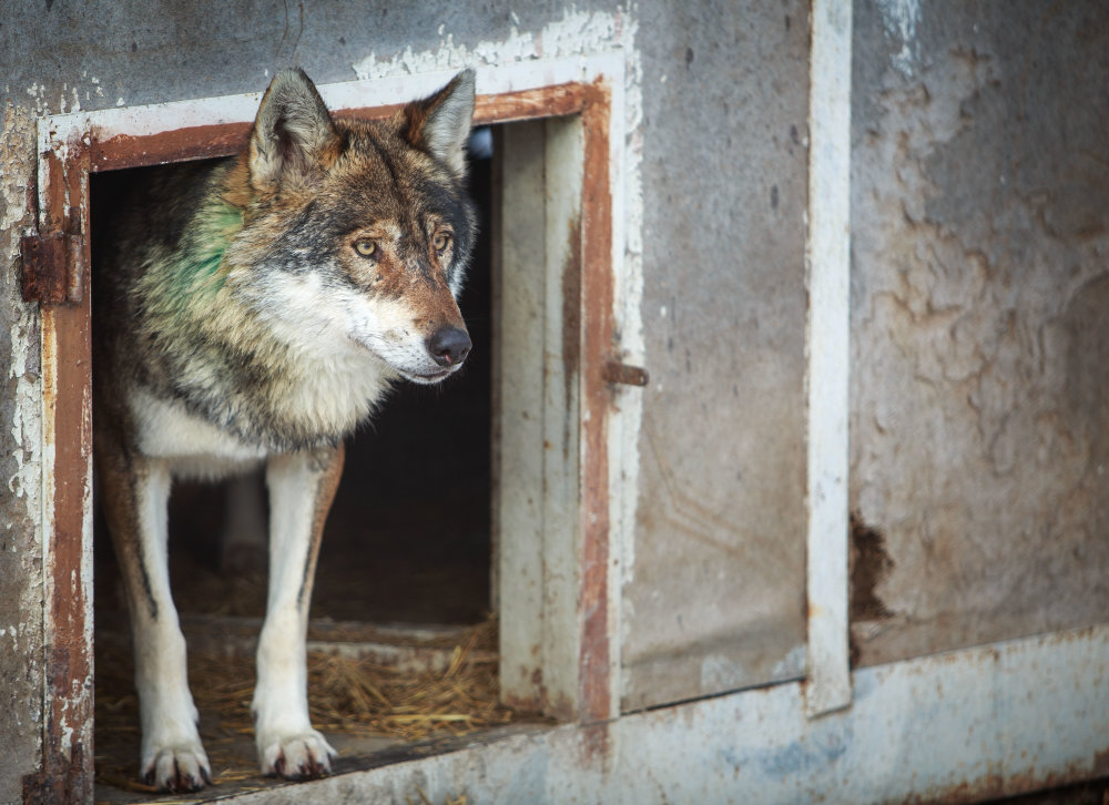 Vlk v zajatí. Foto N - Tomáš Benedikovič