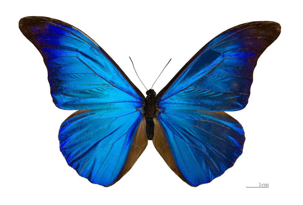 Odraz svetla na motýlích krídlach inšpiroval vznik najfarebnejšieho displeja. Foto - Wikimedia/cc