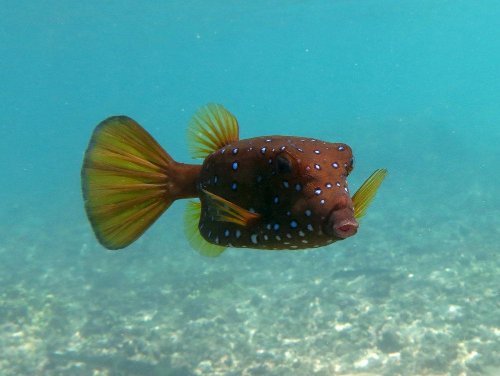Koralová rybka Ostracion cubicus sa stala vzorom pre automobil. Wikimedia Commons/cc