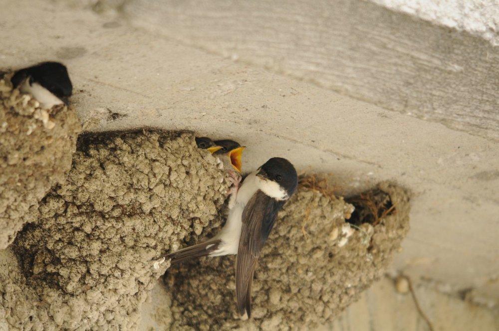 Belorítka kŕmi mláďatá. Ilustračné foto - SOS/BirdLife Slovensko