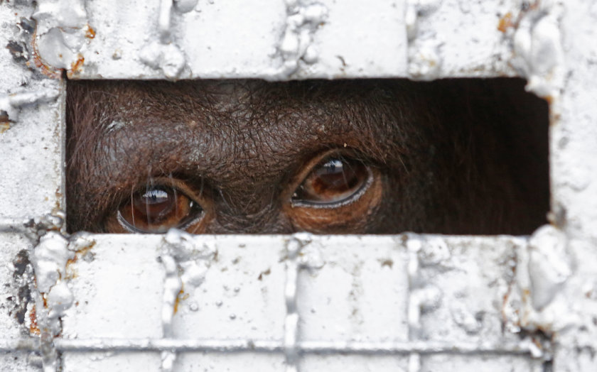 Jeden zo 14 orangutanov, ktoré sa maly stať súčasťou súkromnej zoo v Thajsku. Foto - TASR