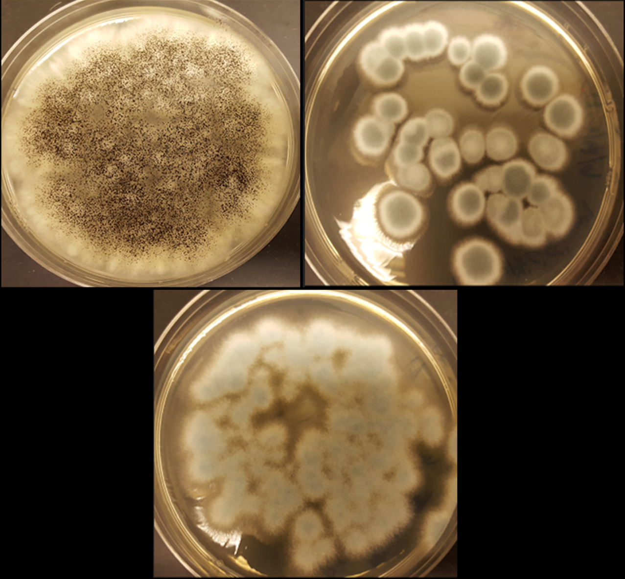 The fungi Aspergillus niger (top left), Penicillium simplicissimum (top right) and Penicillium chrysogenum (bottom) can recycle cobalt and lithium from rechargeable batteries. Credit: Aldo Lobos