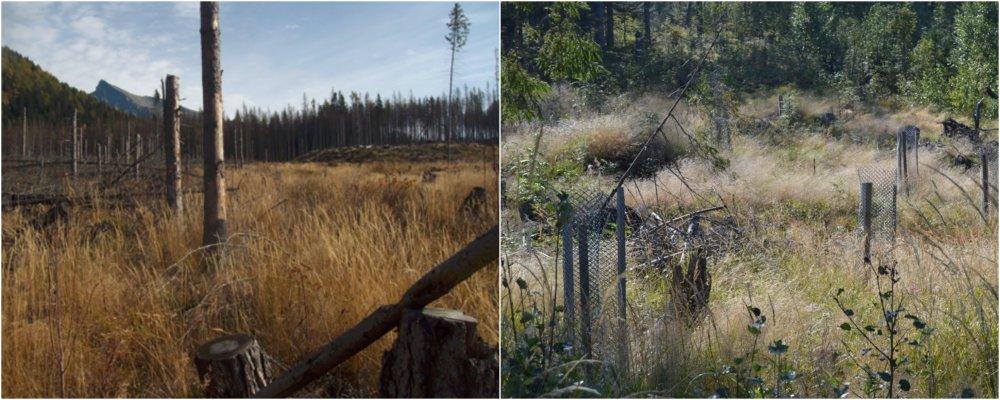 Časť spracovaného polomu v ústi Tichej doliny. Prechod medzi fytocenózami nespracovaného polomu (ľavá časť obrázku) a holinových zárastov je kontrastný. Vpravo sú sadenice s ochranou. Foto - Michal Wiezik