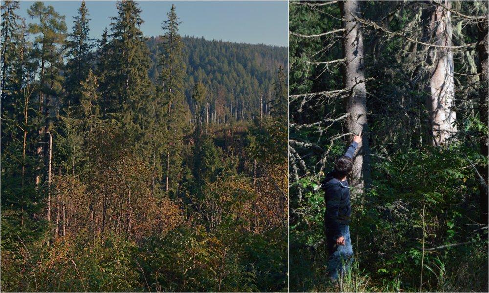 Zelená Tichá dolina a suché smreky v lese, na ktorých sa uchytil vzácny lišajník. Foto N - Daniel Vražda