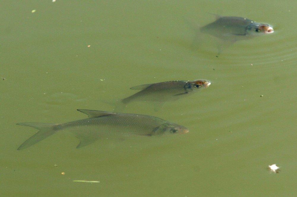 Otrávené ryby pri obci Dulov z roku 2007. Foto - TASR