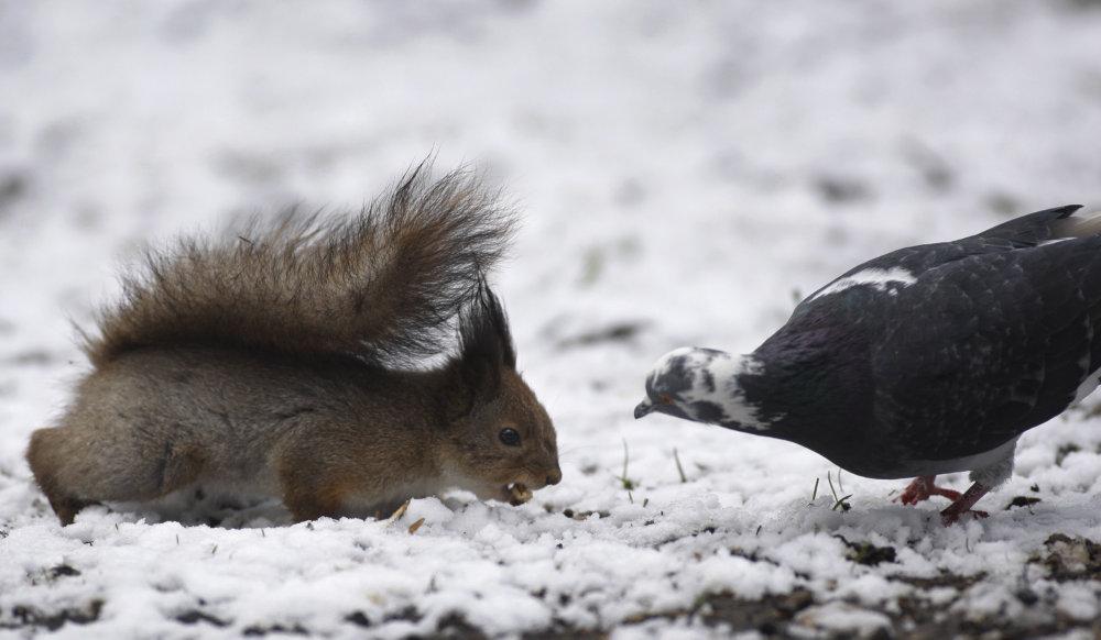 Boj o potravu, záber veveričky a holuba je z Bieloruska. foto - TASR/AP