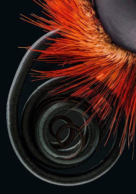 Fotografia zachytáva sosák motýľa. Foto - Jochen Schroeder, Thajsko