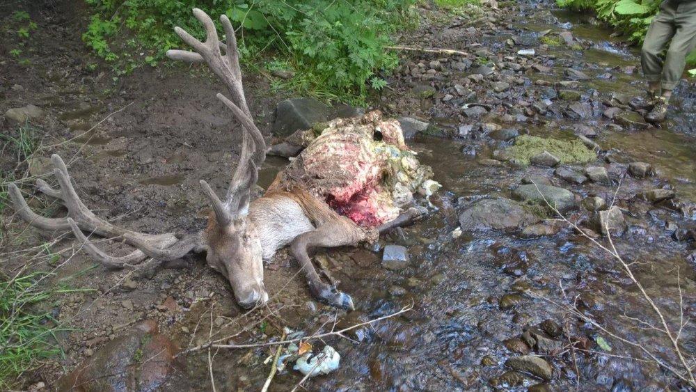 Jeleň strhnutý v lete v Podpoľaní. Foto - ministerstvo pôdohospodárstva