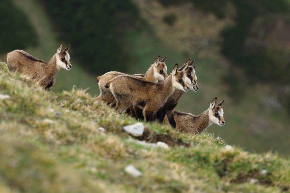 Mladé kamzíky na vrcholkoch Tatier. Foto - Karol Kaliský/Arolla Film