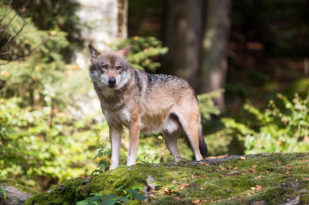 Veľmi blízko prirodzeným podmienkam žijú vlky v Nemecku v Bavorskom lese. Majú tam veľký výbeh obohnaný plotmi, prístupný pre návštevníkov. Foto N – Matej Dugovič