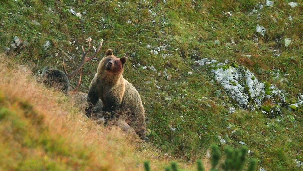Medveď na končiaroch Tatier. Foto - Arolla Film