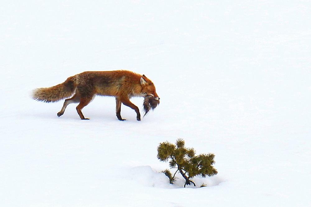 Hore za korisťou vyšla aj líška. Foto – Karol Kaliský/Arolla Film