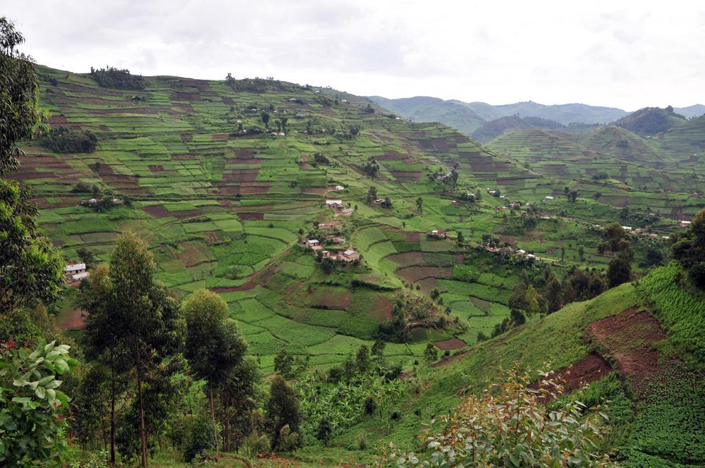 Kávové polia vUgande. Káva je najdôležitejšou vývoznou komoditou Ugandy, ktorej 84 % obyvateľov žije na vidieku a poľnohospodárstvo je pre nich hlavným zdrojom obživy. Zdroj – John Cummings, Wikimedia Commons