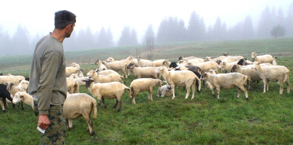 Stádo oviec na Orave, kde vlky roztrhali sedem oviec. Zdroj: TASR