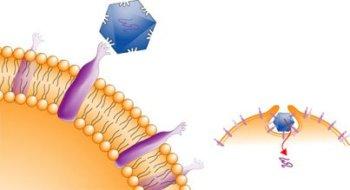 Ako sa rinovírus dostane do bunky. Foto –