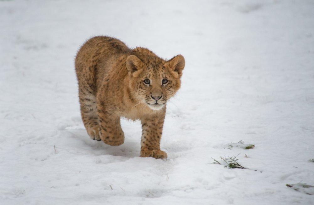 V roku 2012 sa narodila samočka Eva v zoo v ruskom Novosibirsku. Foto - ap