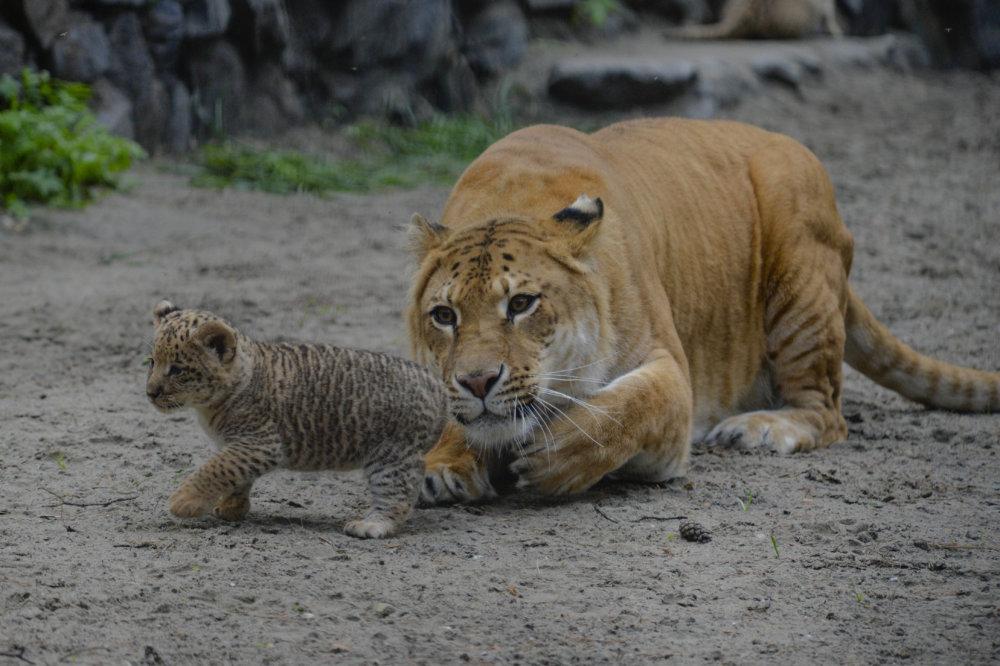 V júni 2013 opäť v Rusku vrhla samica ligera Zita mláďa liligera (kríženec samca leva a samice ligera). Samce ligera sú streilné. Foto - ap