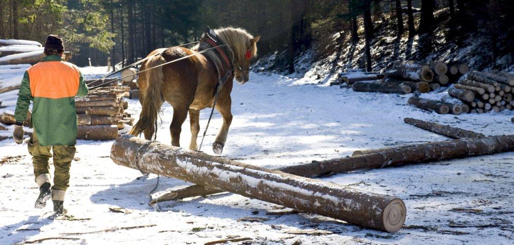 Furmanská robota má stále istý pôvab. Lesy, kone, ťažba dreva - veci, ktoré sú typické pre Slovensko. Zárobky ich však ženú do zúfalstva. Foto - TASR
